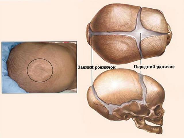 Строение черепа новорожденного ребенка